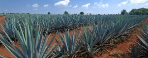 Tequila Production Rises in 2010