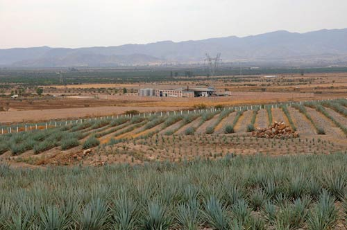 Field of blue agave plants