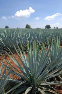 Blue Agave Plant in a field in Jalisco. Photo: Joseph A. Tyson