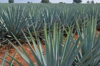 Juice from agave is a misunderstood spirit