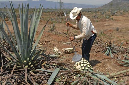 A jimador harvests blue agave plants
