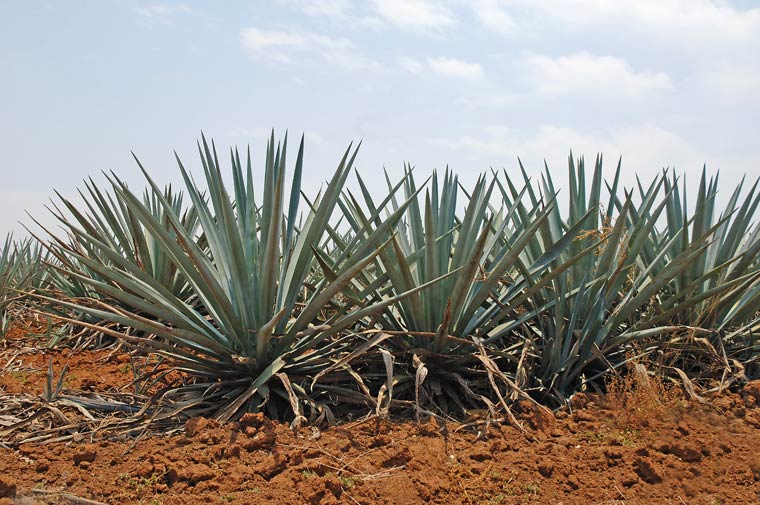 Blue Agave Plants in Guadalajara
