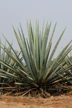 blue agave (agave azul ) plants in tequila, jalisco, mexico