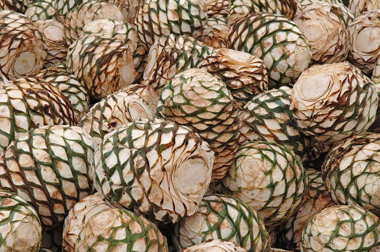 Blue Agave Tequila Plant Tequila History - Tequ...