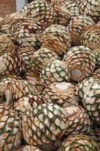 agave hearts (piñas) ready to be cooked