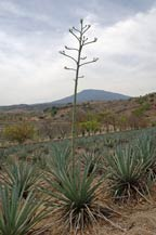 agave quiote