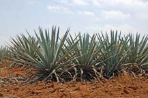 blue agave plants in the fields in amatitan, jalsico